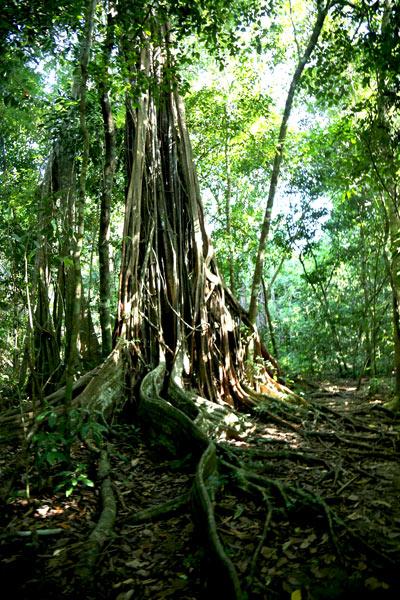 San Pedrillo and Sirena Station in Corcovado National Park - Tree Sirena