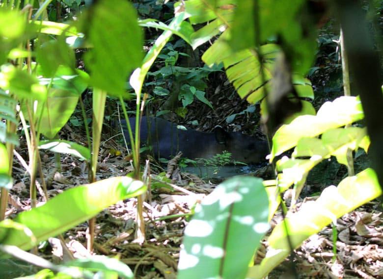 San Pedrillo and Sirena Station in Corcovado National Park - tapir