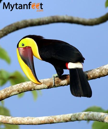 black mandibuled toucan
