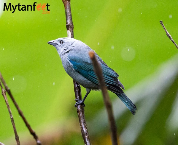 birds of costa rica - blue grey tanager