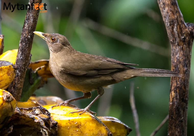 birds of costa rica - clay colored thrush national bird