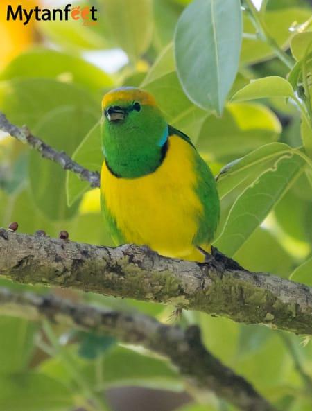 birds of costa rica - golden browed chlorophonia