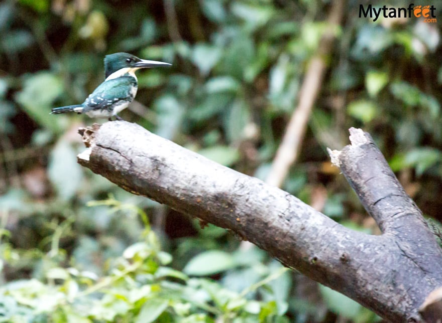 birds of costa rica - green kingfisher