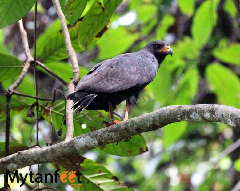 birds of costa rica - hawk