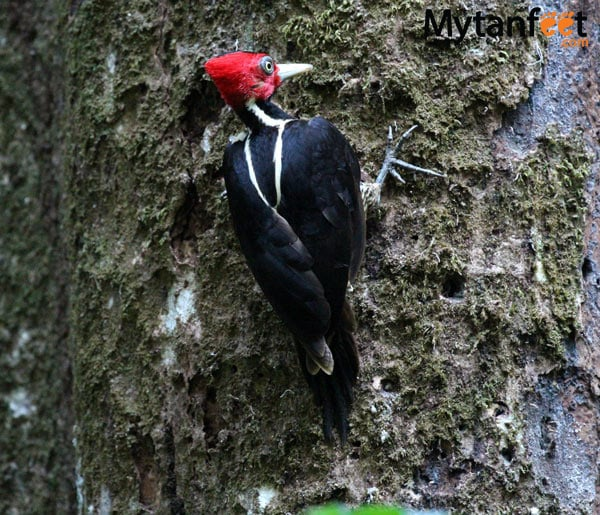 birds of costa rica - lineated woodpecker