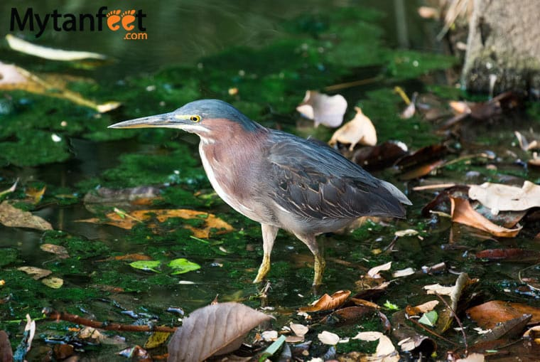 birds of costa rica - little green heron