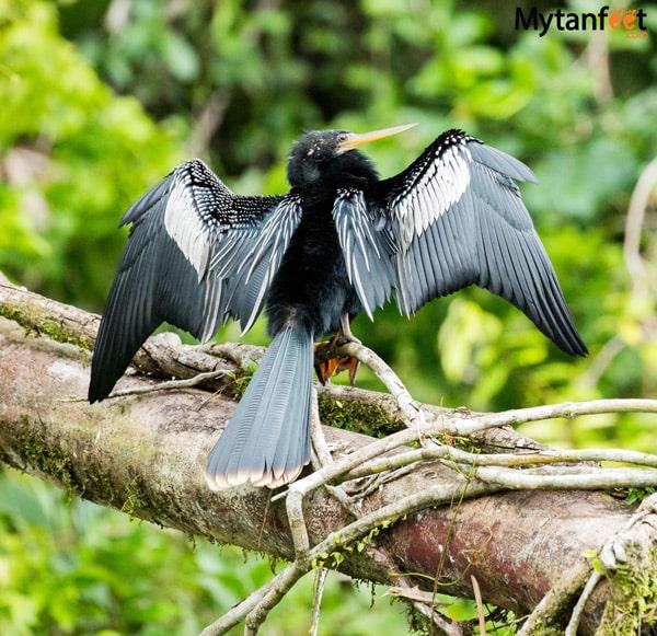 birds of costa rica - male anhinga