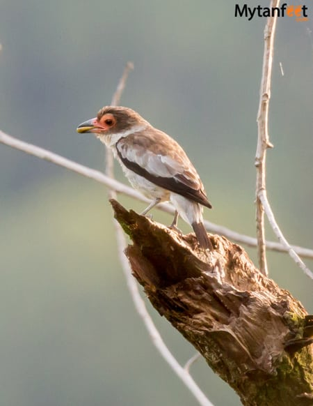birds of costa rica - masked tityra