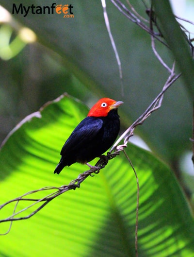 birds of costa rica - manakin