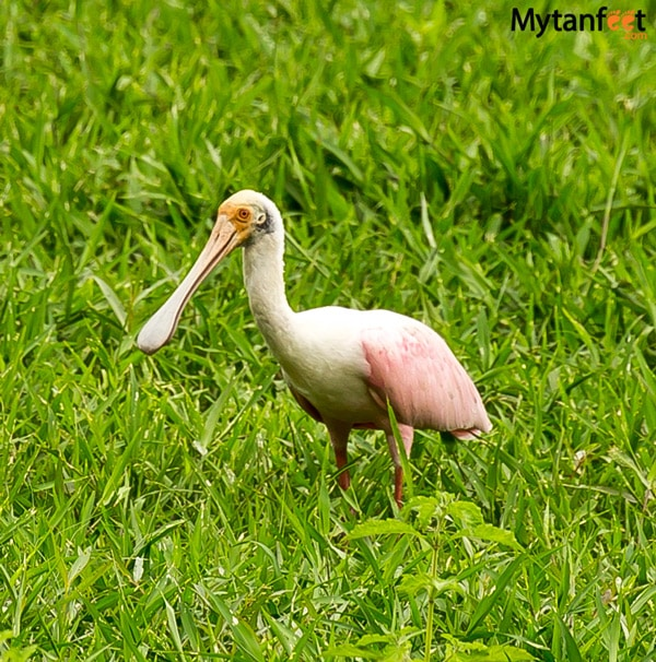birds of costa rica - roseate spoonbill heron