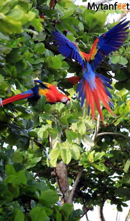 birds of costa rica - scarlet macaws