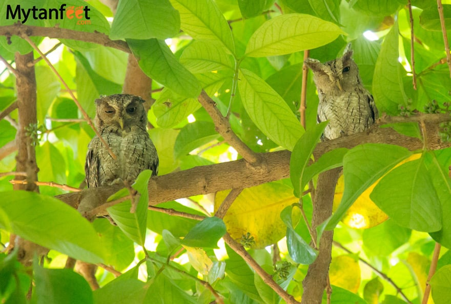birds of costa rica - speckled owls