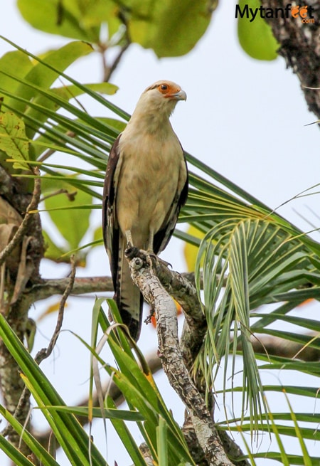 Yellow headed caracara