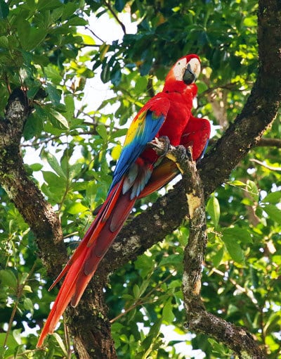tranquilo lodge - scarlet macaws