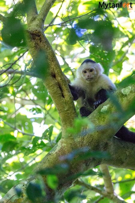 Carara National Park Animals - monkey