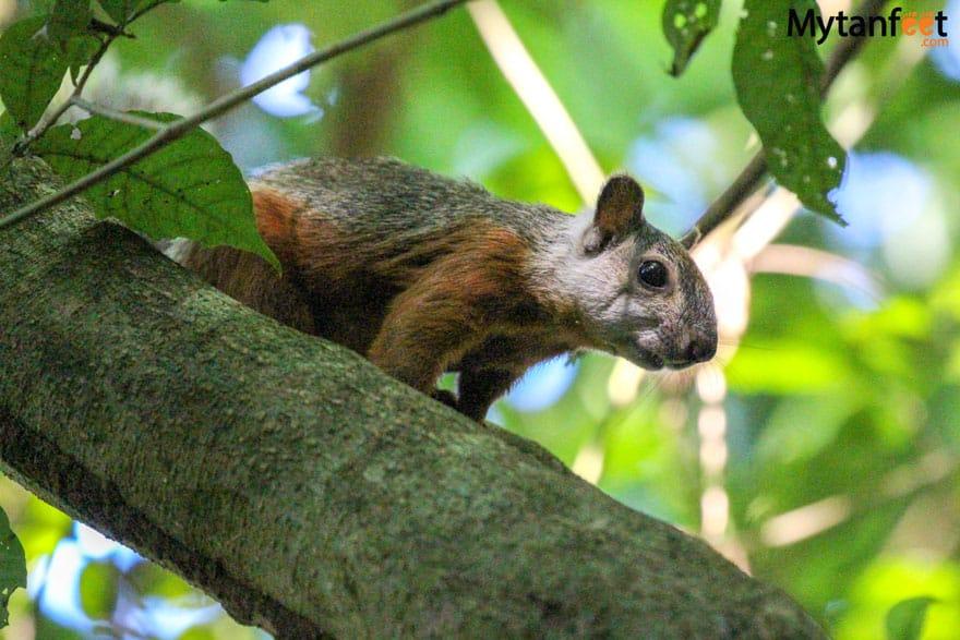 Carara National Park Animals - squirrel