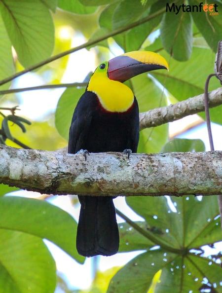 Carara National Park Animals - toucan