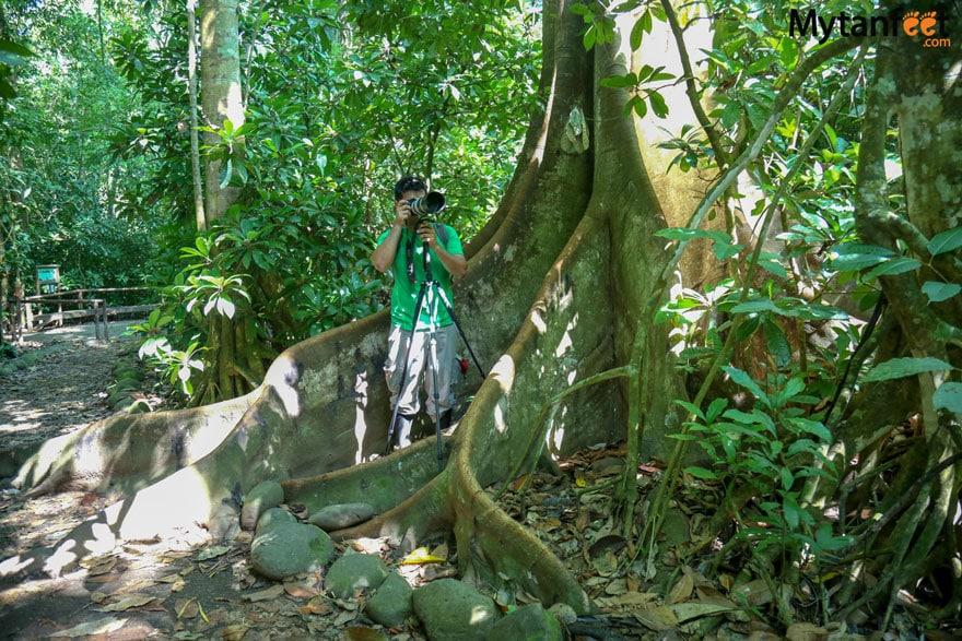 Carara National Park ficus tree