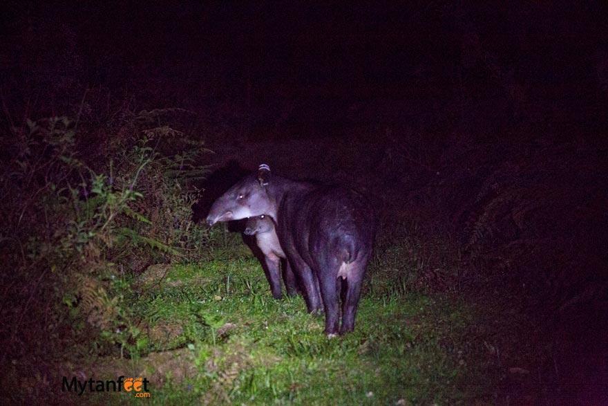 costa rica wildlife tapir