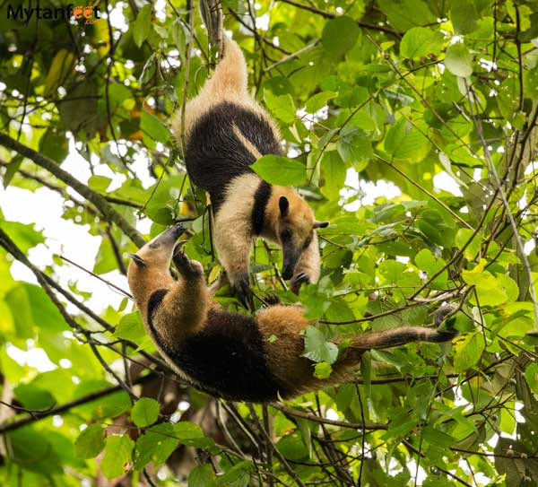 costa rica wildlife anteaters