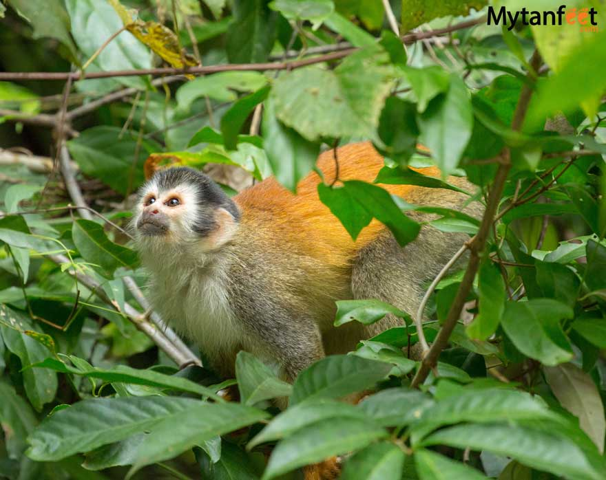 Costa Rica wildlife - monkey