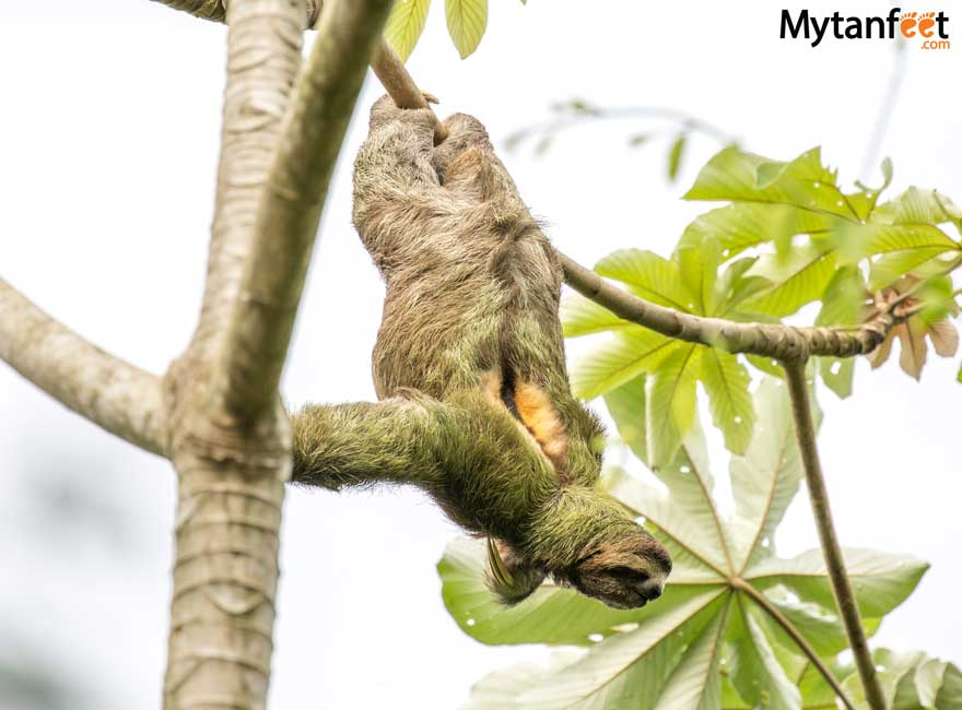 Costa Rica wildlife - sloth