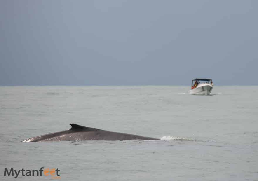Costa rica wildlife - humpback whale