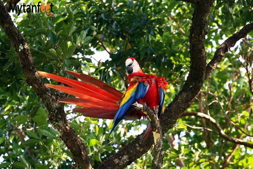 Costa rica wildlife macaw