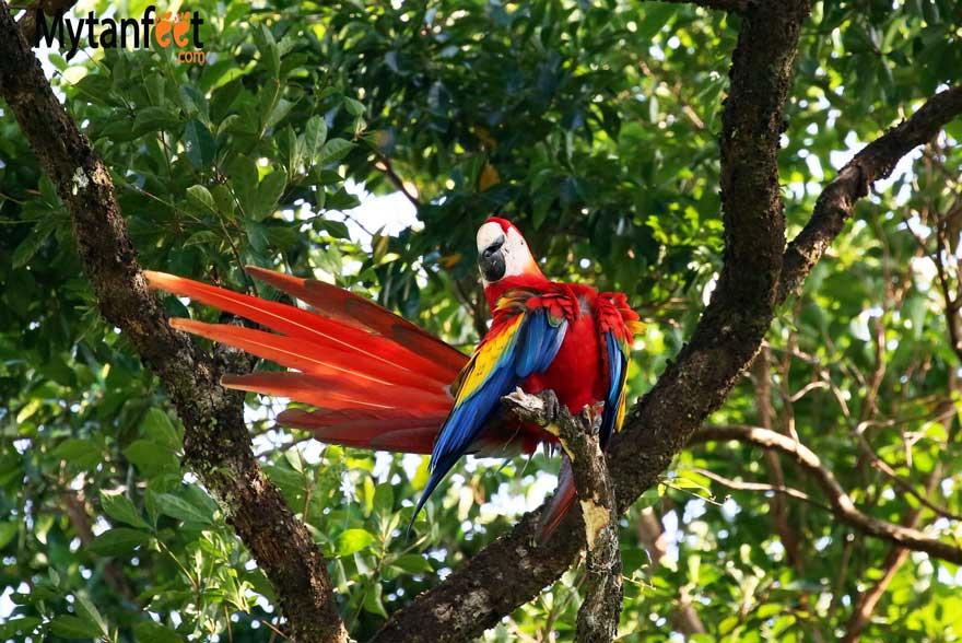 Costa rica wildlife macaw