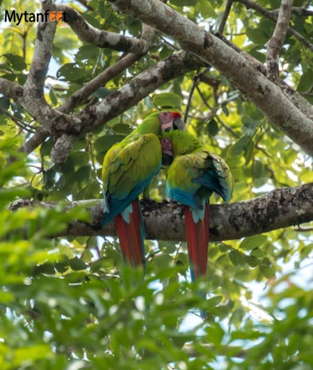 Costa rica wildlife macaws