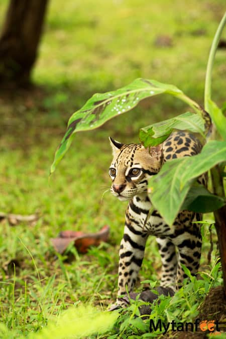 Costa rica wildlife - ocelot