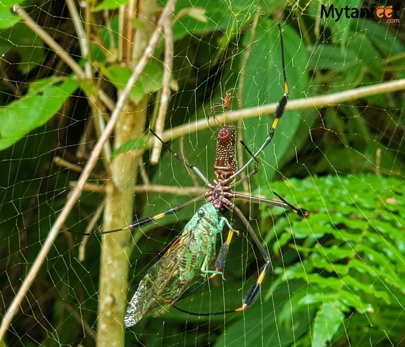 costa rica spiders - golden orb