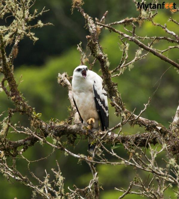 costa rica wildlife white hawk