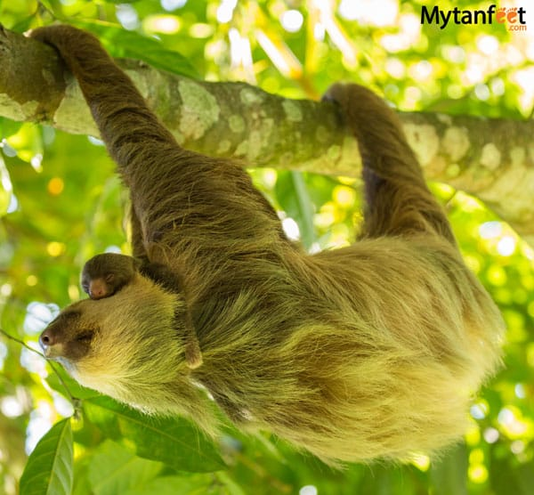 costa rica wildlife sloth