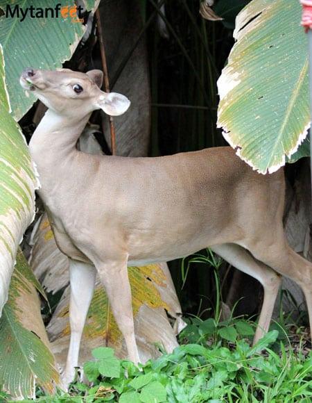 costa rica wildlife deer