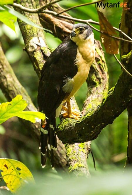 costa rica wildlife falcon