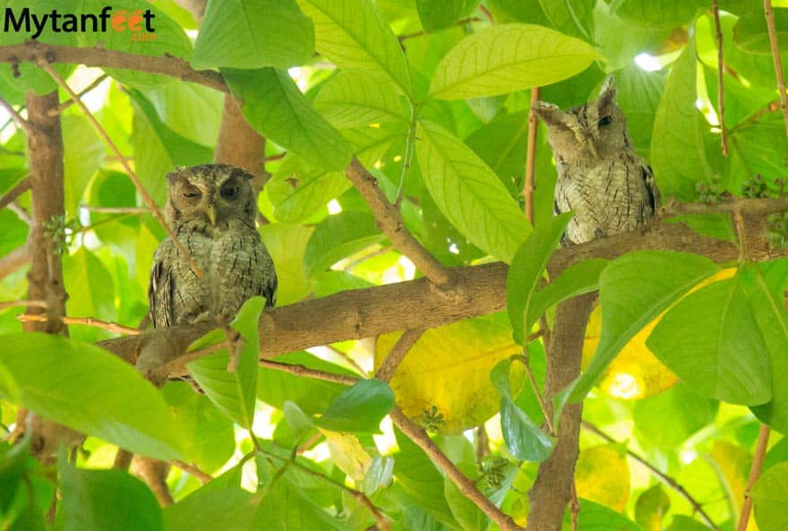 costa rica wildlife owls