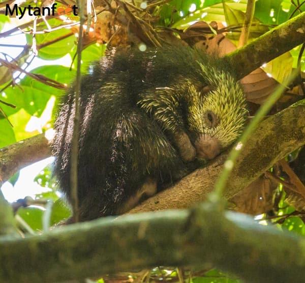 costa rica wildlife porcupine