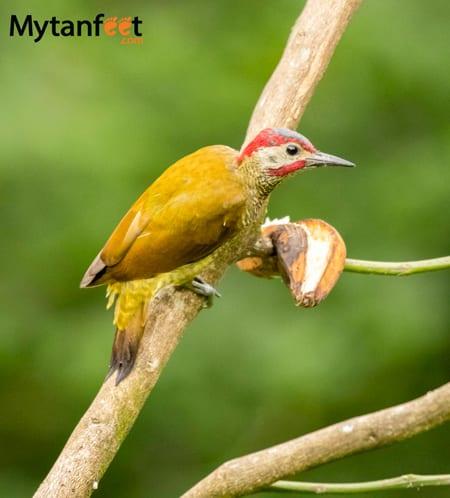 costa rica wildlife woodpecker