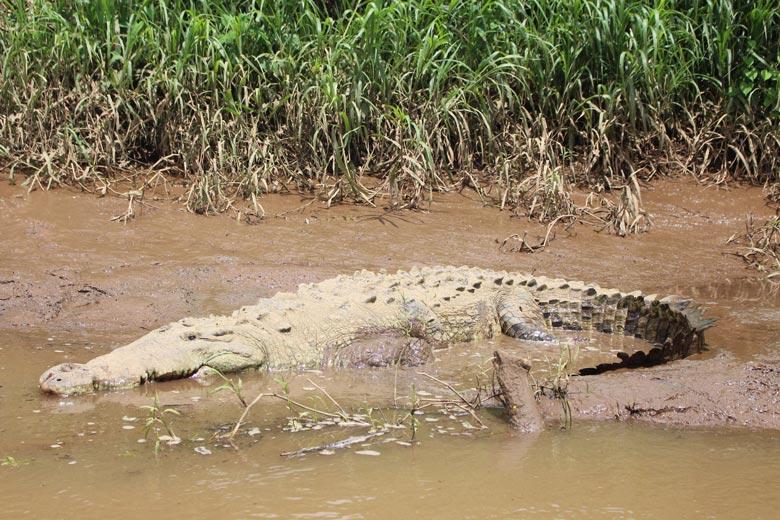 reptiles in costa rica - american crocodile