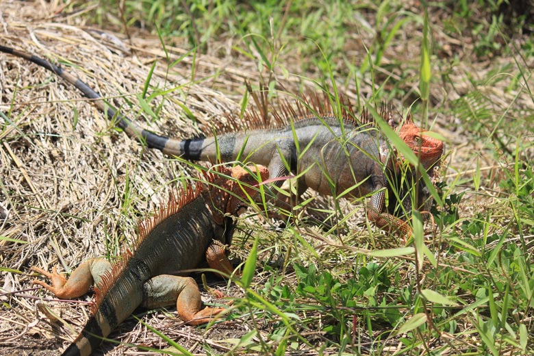 reptiles in costa rica - black spiny tailed iguana