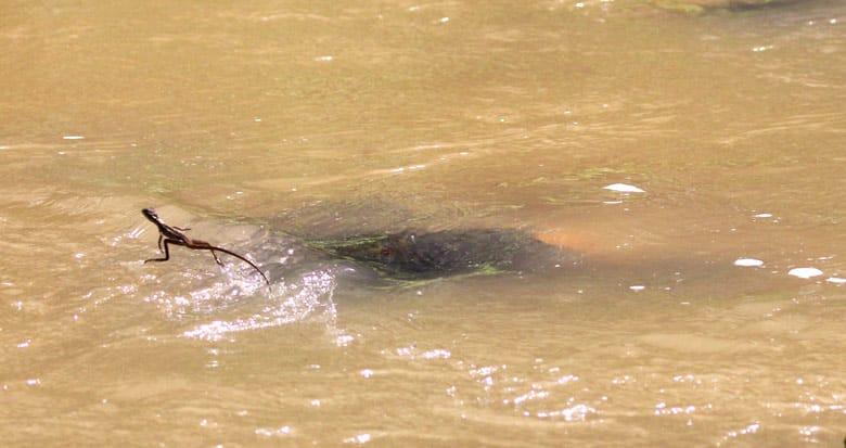 reptiles in costa rica - common basilisk or jesus christ lizard running on water