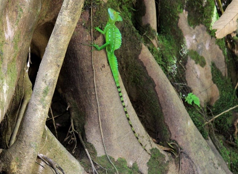 reptiles in costa rica - common basilisk or jesus christ lizard