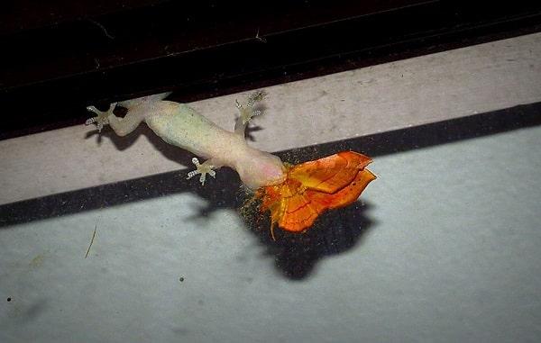 reptiles in costa rica - gecko