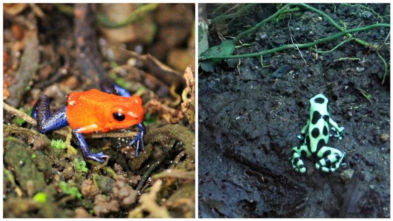 reptiles in costa rica - green black frog