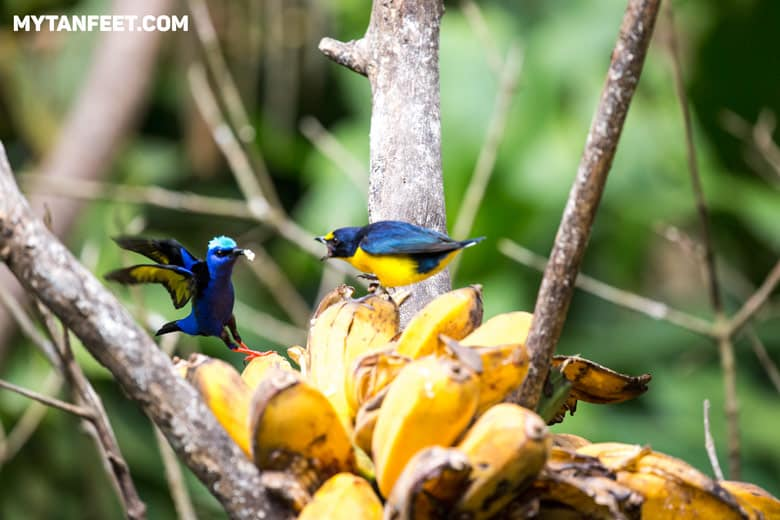 Birds at the breakfast area in Casitas Tenorio