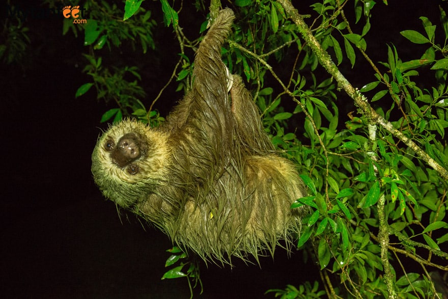 Costa Rica experiences - see a sloth in the wild 2 toed sloth