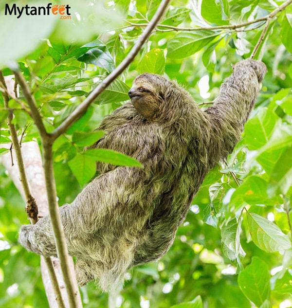 Costa Rica experiences - see a sloth in the wild 3 fingered sloth