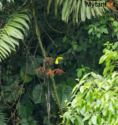 2 day white water rafting trip in Costa Rica at RIo Pacuare with Rios Tropicales: Keel Billed toucan