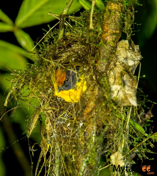 Rainforest Adventures Costa Rica Atlantic - Euphonia from night walk